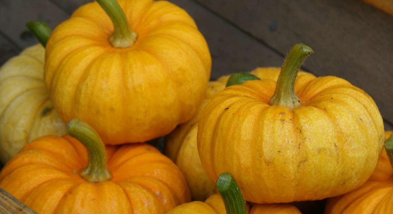 Munchkin Pumpkins Galore!