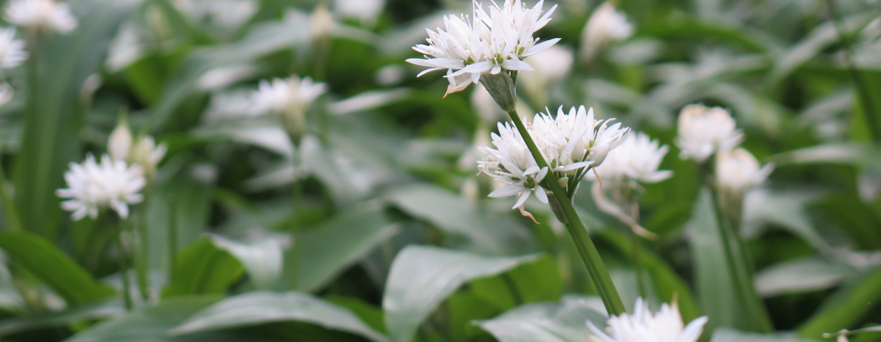 The Hunt for Wild Garlic