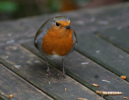 Introducing Mr Robin