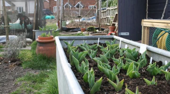 The Tulip Trough