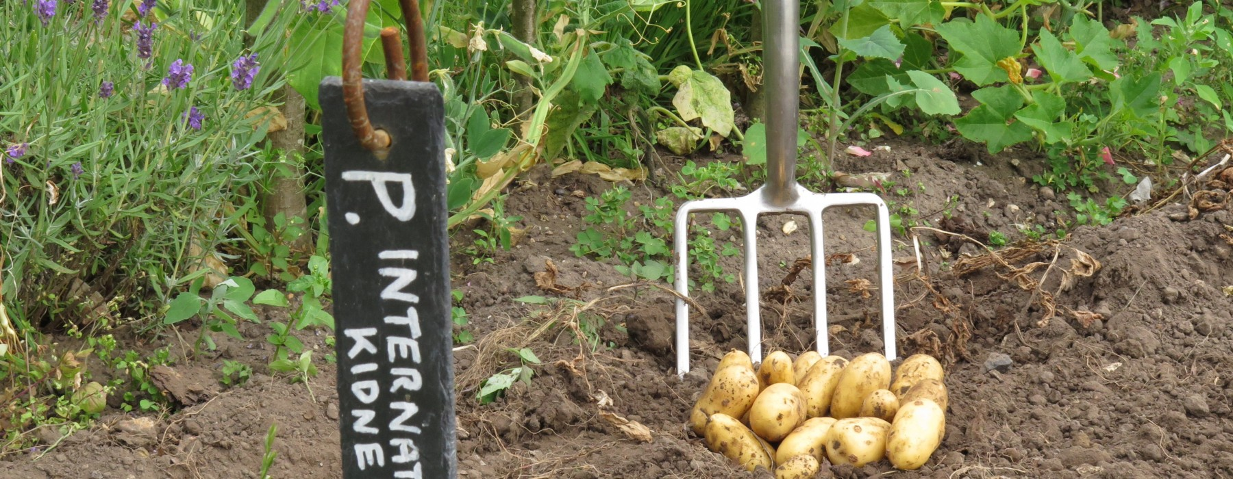 Homegrown Potatoes!