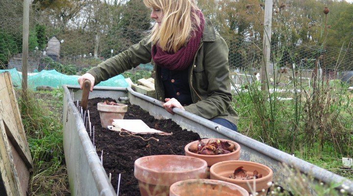 November 2015 – The Big Tidy, Broad Beans and Tulips