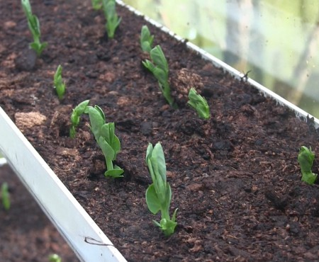 How to Grow Peas in Guttering