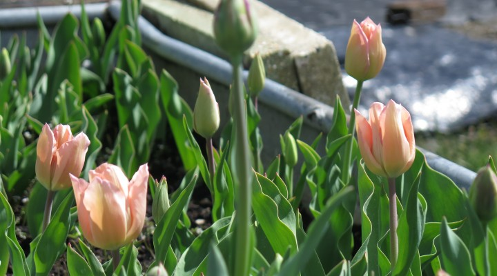 The Return of the Tulip Trough