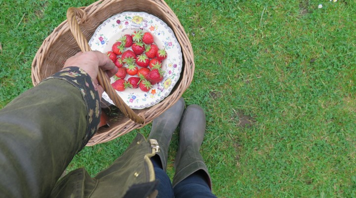 The First Strawberry Harvest