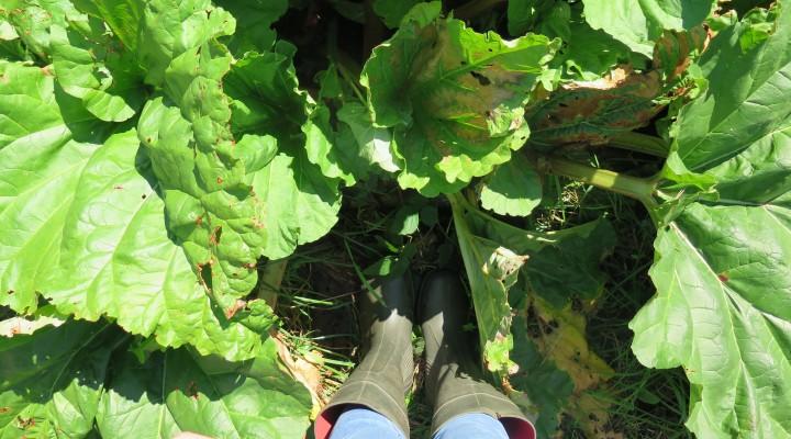 Welsh Rhubarb