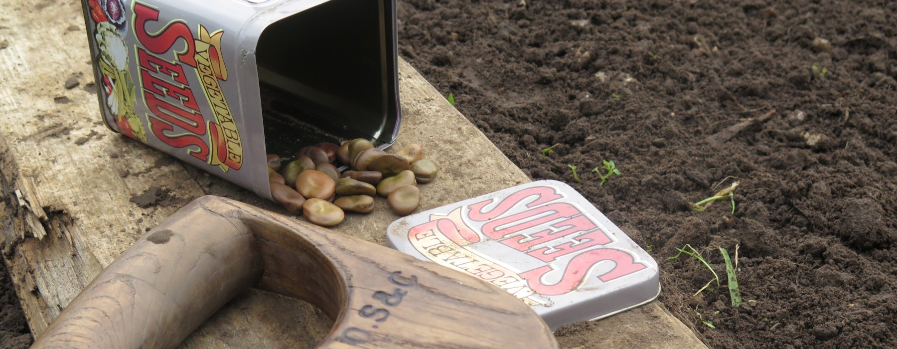 The Broad Beans are in!