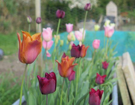 It's Officially Tulip Season
