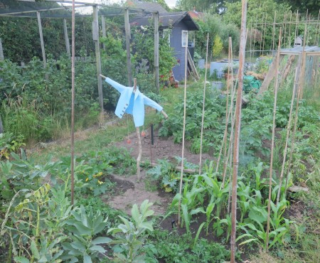 The Allotment in June…