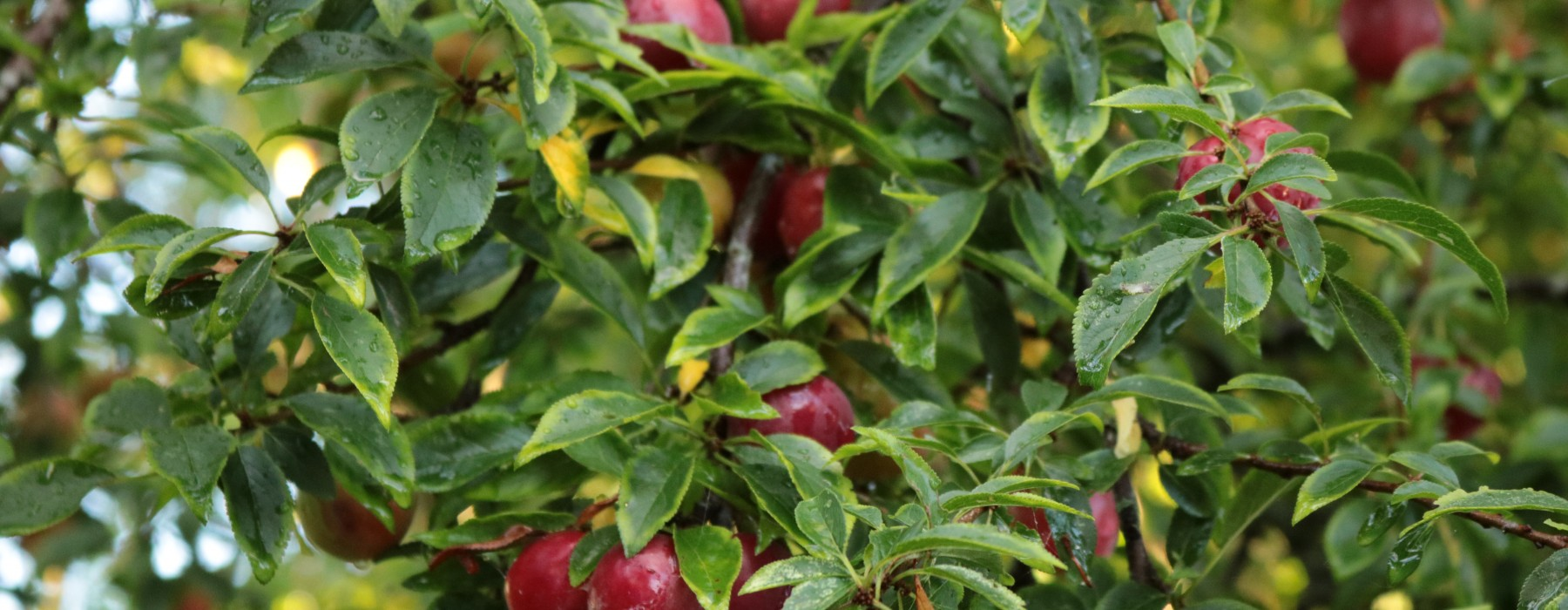 Foraging for Cherry Plums