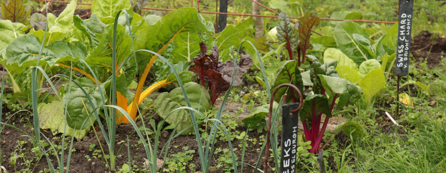 A wet Wednesday on the allotment