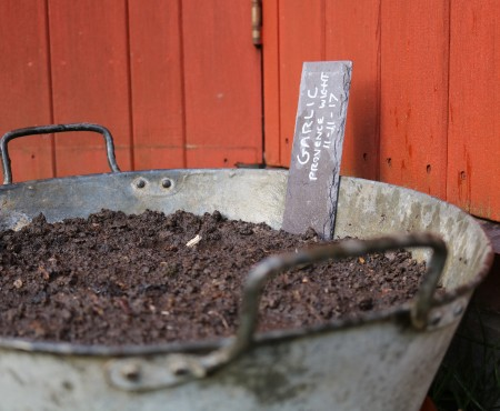Planting Garlic in a Container